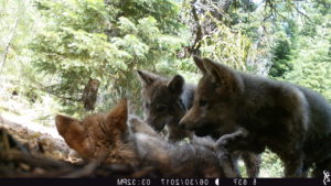 California Wolf Pack