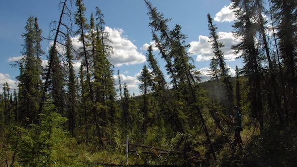 drunken forest in Arctic National Wildlife Refuge